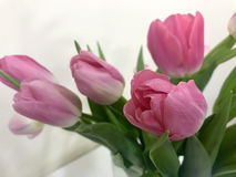 Pink tulips on Valentine`s day for your beloved Royalty Free Stock Image