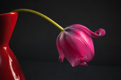 Pink tulips in a vase Stock Photos