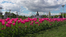 Pink tulips on VDNKh. Beautiful tulips flowers on VDNKh, Moscow Russia stock video footage
