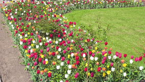 Pink tulips on VDNKh. Beautiful tulips flowers on VDNKh, Moscow Russia. FHD real time video stock video footage
