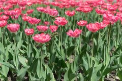 Pink tulips vertical background, vertical banner. Colorful rose tulips in the flower garden, arboretum. Flower bed in spring park stock photos