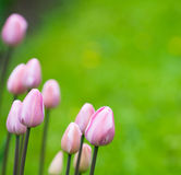 Pink tulips, very shallow focus Royalty Free Stock Photography