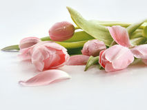 Pink tulips with water droplets Stock Photography