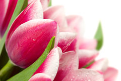 Pink tulips with water drops on white background Stock Photo