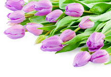 Pink tulips with water drops Royalty Free Stock Photos