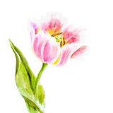 Pink tulips, watercolor painting. Royalty Free Stock Photography