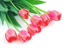 Pink tulips on white Stock Photo