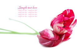 Pink tulips on white background Royalty Free Stock Photos