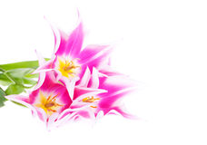Pink tulips on the white background Stock Photography