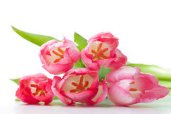 Pink tulips on a white background Royalty Free Stock Photos