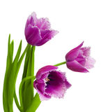 Pink tulips on white background Stock Image