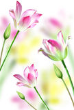 Pink tulips on white background Stock Images