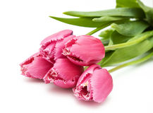 Pink tulips on white bakcgrounds Stock Images