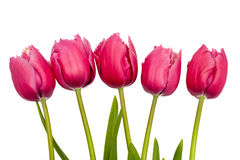 Pink tulips on white bakcgrouns Stock Photos