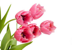 Pink tulips on white bakcgrouns Royalty Free Stock Image