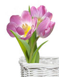 Pink tulips in white basket. Isolated on white background royalty free stock photo