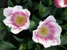 Pink tulips. Pink with white tulips close up photography Stock Photography