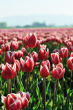 Pink tulips with white edge Royalty Free Stock Photo