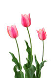Three Pink Tulips on White. Three pink tulips isolated on a white background Stock Photography