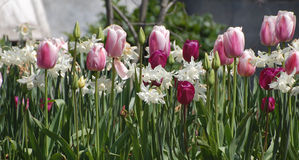 Pink tulips and white jonquils Stock Images