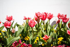 Pink Tulips by White Wall Stock Photos