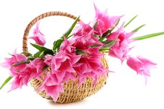 Pink tulips in wicker basket. Royalty Free Stock Images