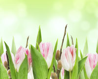 Pink tulips with willow on green background Royalty Free Stock Photo