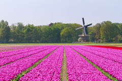 Pink tulips windmill. Beautiful windmill of the 'keukenhof' near Lisse in the Netherlands in spring with tulipfields Royalty Free Stock Image