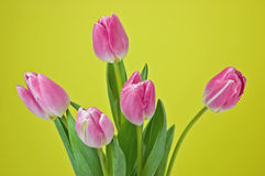 Pink tulips on yellow background Royalty Free Stock Image