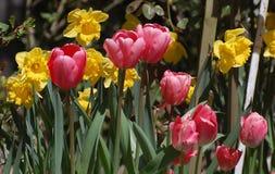 Pink tulips among yellow daffodils Royalty Free Stock Images