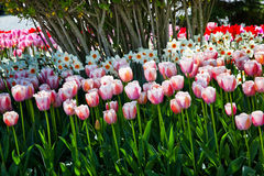 Pink TulipsFlowers Skagit Washington Stock Image