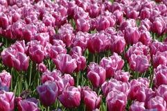 pink tulpan Arkivfoto