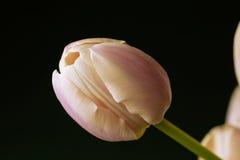 pink tulpan Royaltyfri Fotografi
