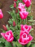 pink tulpan Royaltyfria Foton