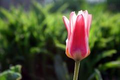pink tulpan Arkivfoton