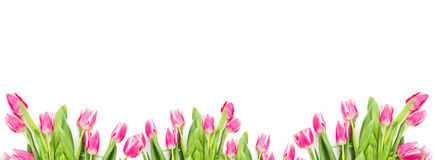 Pink tuplips on white background, banner. For website royalty free stock image