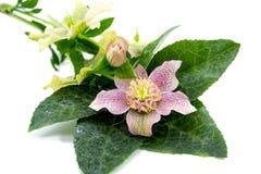 Pink Tutu Flower Stock Photo