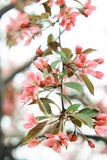 Pink twig of sakura with green petals. On white background Royalty Free Stock Photography