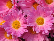 Pink twin flowers. A chrysanthemum flowers with pink blossom Stock Photo