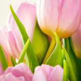 Pink tylips close up Royalty Free Stock Photography