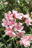 Pink umbellate inflorescence. Royalty Free Stock Image
