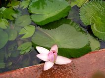 Pink unopened lotus. With green leaves. It just stared to open Royalty Free Stock Photo