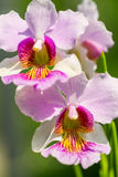 Pink Vanda Miss Joaquim orchid , national flower of Singapore, c Royalty Free Stock Photography