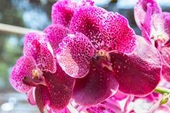 Pink Vanda orchid. Beautiful Vanda in Thailand,Close up of beautiful orchid.,Dendrobium thyrsiflorum Rchb.f.,Vanda coerulea Griff. ex Lindl Stock Photography