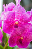 Pink Vanda orchid. Royalty Free Stock Photography
