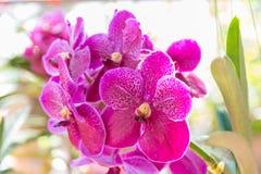 Pink Vanda orchid. Beautiful Vanda in Thailand,Close up of beautiful orchid.,Dendrobium thyrsiflorum Rchb.f.,Vanda coerulea Griff. ex Lindl Stock Image