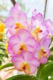 Pink Vanda orchid. Beautiful Vanda in Thailand,Close up of beautiful orchid.,Dendrobium thyrsiflorum Rchb.f.,Vanda coerulea Griff. ex Lindl Stock Images