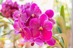 Pink Vanda orchid. Beautiful Vanda in Thailand,Close up of beautiful orchid.,Dendrobium thyrsiflorum Rchb.f.,Vanda coerulea Griff. ex Lindl Stock Photo