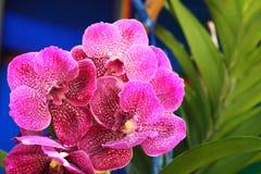 Pink vanda orchid blooming. On garden Stock Photos