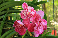 Pink Vanda Orchid Royalty Free Stock Image